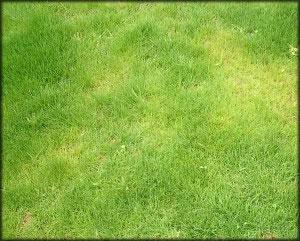 Prevenir cualquier hongo en el c sped vivero las for Hongos en el cesped jardin